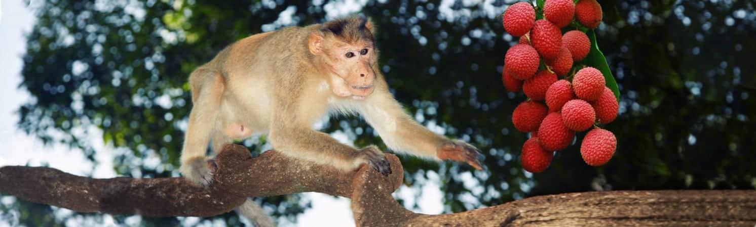 macaque+fruit